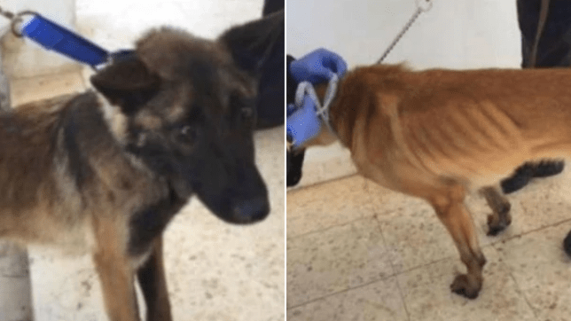 US donated bomb sniffer dogs to Middle East where they were starved and neglected to death