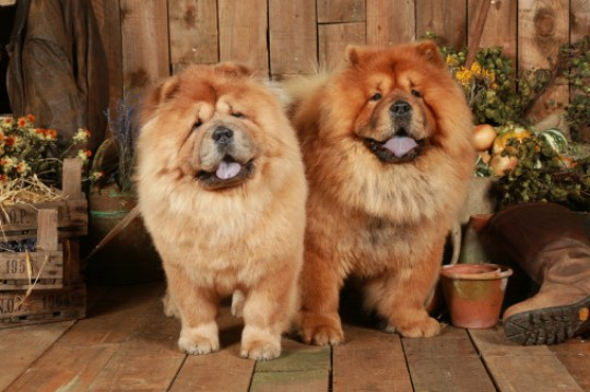 Two Chow Chows posing side-by-side (image:Getty)