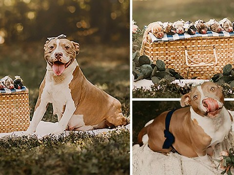 Adorable rescued pit bull gets her own maternity photoshoot