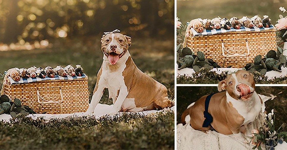Pit bull photo shoot