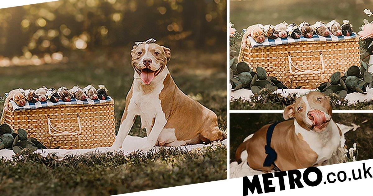 An adorable pit bull received her own maternity photoshoot