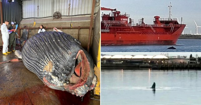 Humpback whale found dead in the Thames had been hit by a ship