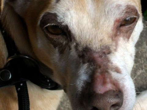 Attacker stabbed dog 50 times then poured acid in his eyes