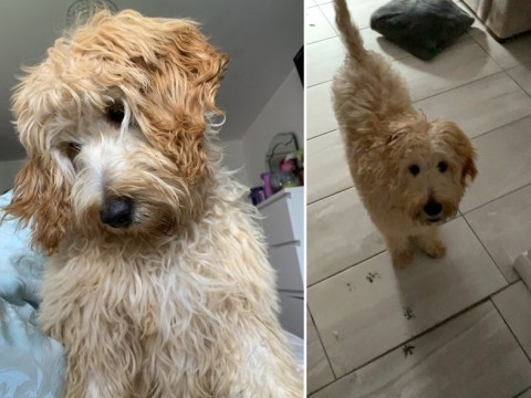 Brandy the dog looks rather proud as owner discovers inky pawprints all over house