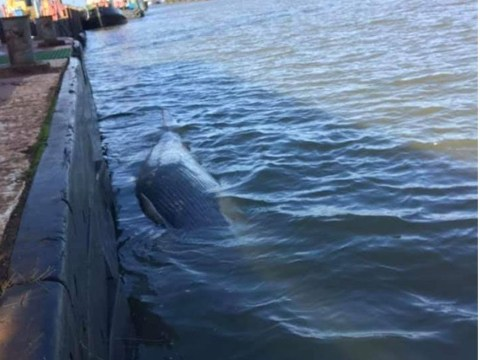 Second dead whale found in Thames in a month