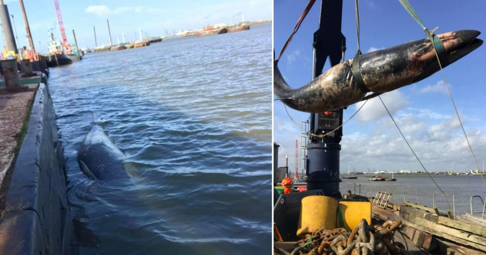 Whale washed up in Gravesend and being removed