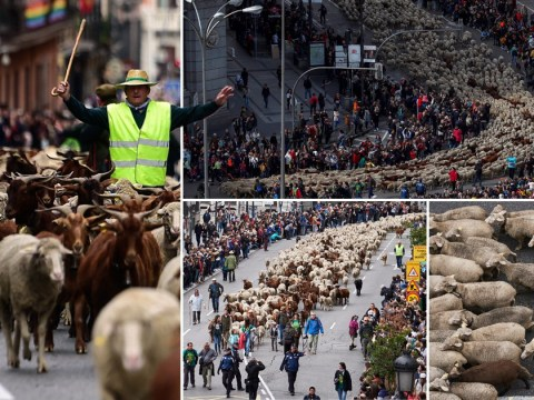 Streets of Madrid rammed with thousands of sheep for ancient farming festival