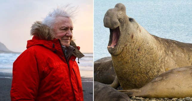 Sir David Attenborough was almost run over by four-tonne seals: 'They'd go over you like a steam roller'