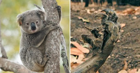 Hundreds of koalas are believed to have died in the wildfires (Picture: Getty)