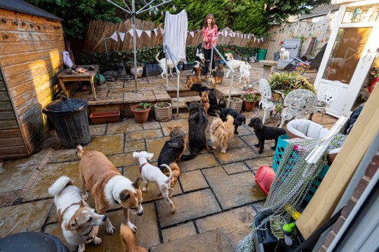 Some of the 27 dogs that Clarie-Lousie Nixon has living at her home. See Cambridge copy SWCAdogs: Dog-lover Claire-Louise Nixon has told how she shares her semi-detached house with her family - and a staggering 27 rescued pooches.Claire-Louise, 48, rescues sick and paralysed dogs from around the world and looks after them at her humble home in Milton Keynes, Bucks.She says looking after the brood of canines is a full-time job and takes her from 6am until midnight.