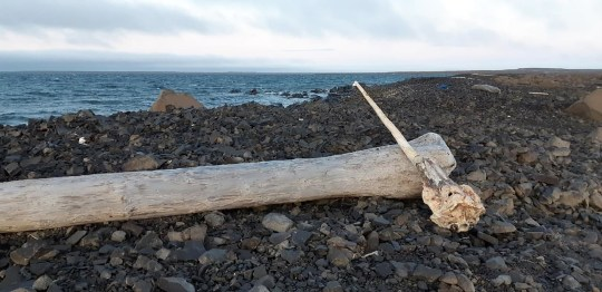 Narwhals pictured in the Arctic
