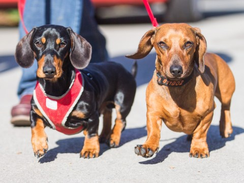 Alf the agoraphobic sausage dog will finally leave the house thanks to new best friend