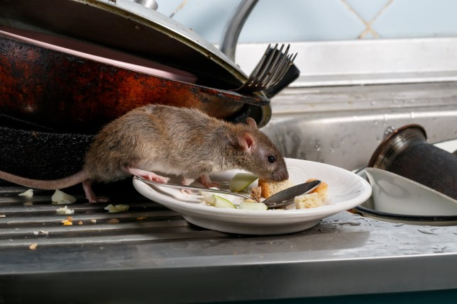 Fears 120,000,000 rats could invade our homes in the cold weather