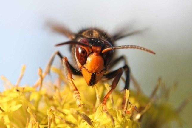 Asian hornet, Vespa velutina