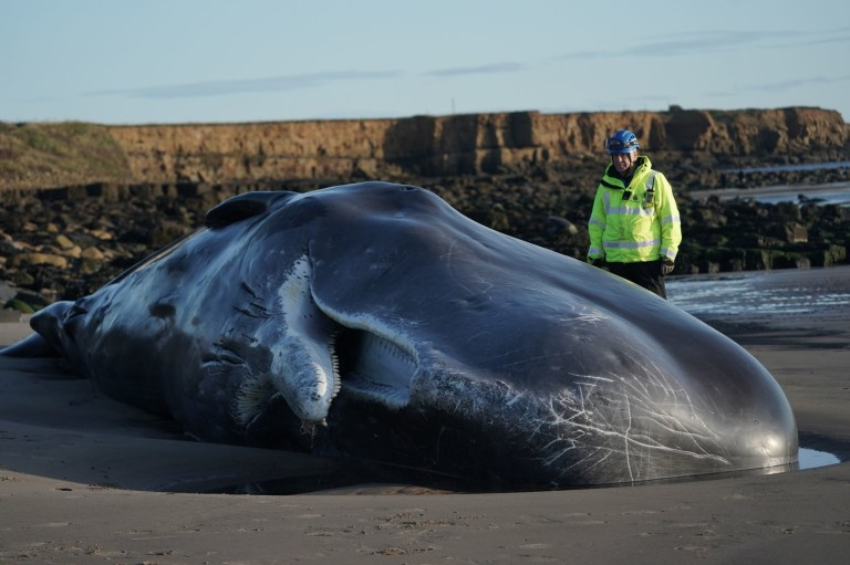 The sperm whale which washed up at Newbiggin-by-the-Sea in Northumberland
