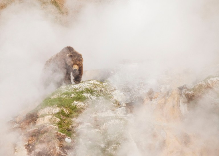 Brown bear seeking out fresh grass in the Valley of the Geysers, Kamchatka, Russia