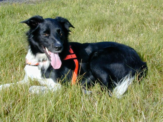 BNPS.co.uk (01202 558833) Pic: PDSA/BNPS Border collie Charlie, who died in 2017 A hero search and rescue dog that saved countless lives during an illustrious career has been posthumously honoured with the pet version of the OBE. Border collie Charlie, who died in 2017, completed hundreds of searches with his most notable work involving finding an elderly and vulnerable lady on a common after she had been missing for 14 hours.