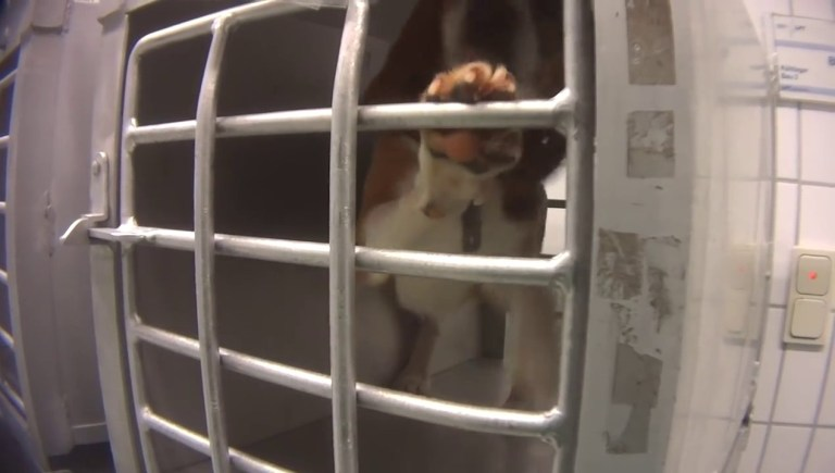 Poisoned beagles slowly die in pools of blood at 'German lab'