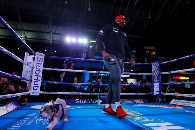 Boxer Derek Chisora in the ring with his bulldog puppy close by