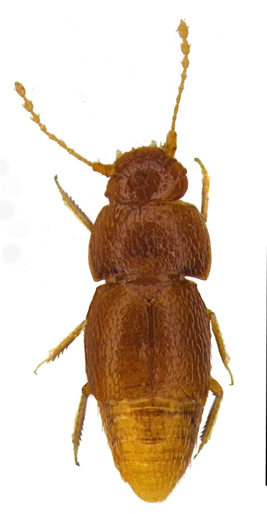 """A handout picture released by Pemberley Books on October 25, 2019 and first published in Entomologists Monthly Magazine shows the beetle Nelloptodes gretae, named after teenaged Swedish climate activist Greta Thunberg. - A tiny beetle has been named as a tribute to the work of activist Greta Thunberg on October 25, 2019. Nelloptodes gretae, which is less than 1mm long and has no eyes or wings, belongs to the Ptiliidae family of beetles which includes some of the smallest insects in the world. The beetle was first collected in samples of soil and leaf litter from Nairobi, Kenya in the 1960s and was part of a collection donated to the Natural History Museum, London in 1978. (Photo by Michael DARBY / Pemberley Books / AFP) / RESTRICTED TO EDITORIAL USE - MANDATORY CREDIT """"AFP PHOTO / PEMBERLEY BOOKS / MICHAEL DARBY """" - NO MARKETING - NO ADVERTISING CAMPAIGNS - DISTRIBUTED AS A SERVICE TO CLIENTS (Photo by MICHAEL DARBY/Pemberley Books/AFP via Getty Images)"""