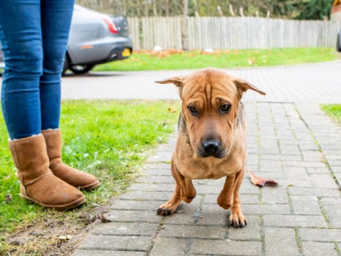 Shar Pei who was found chained with front legs chopped off needs help to get prosthetics