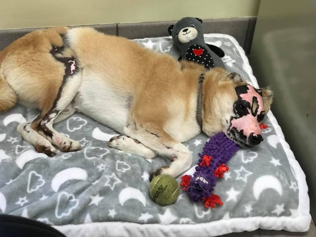 Shiba Inu burned in house fire becomes therapy dog for human burn victims Picture: Care More Animal Hospital METROGRAB