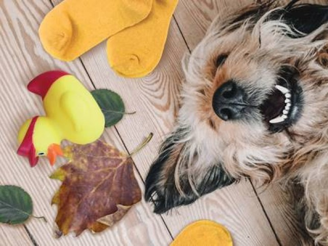 A dog lying on the floor, face up, smiling with leaves on the floor around him/her