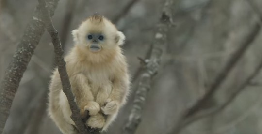Snub-nosed monkey Seven Worlds One Planet