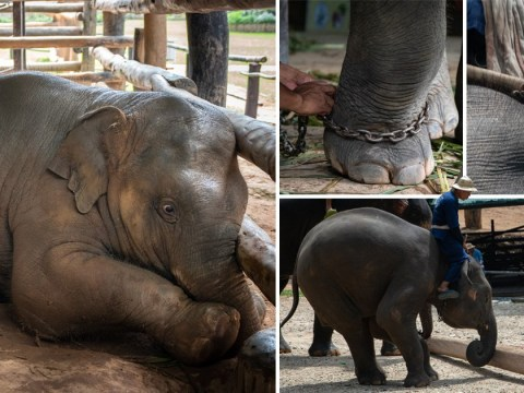 Baby elephants forced to perform tricks for tourists in 'nursery from hell'