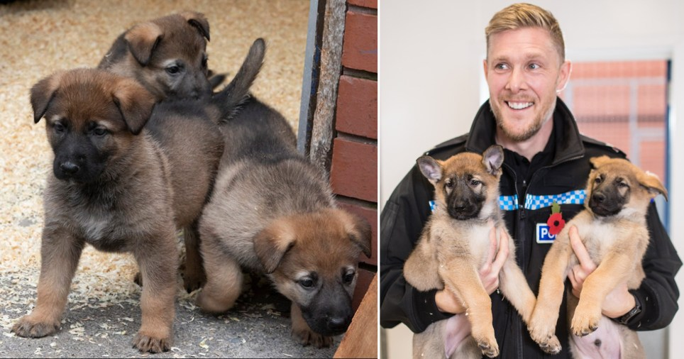 Greater Manchester Police's new K9 puppies
