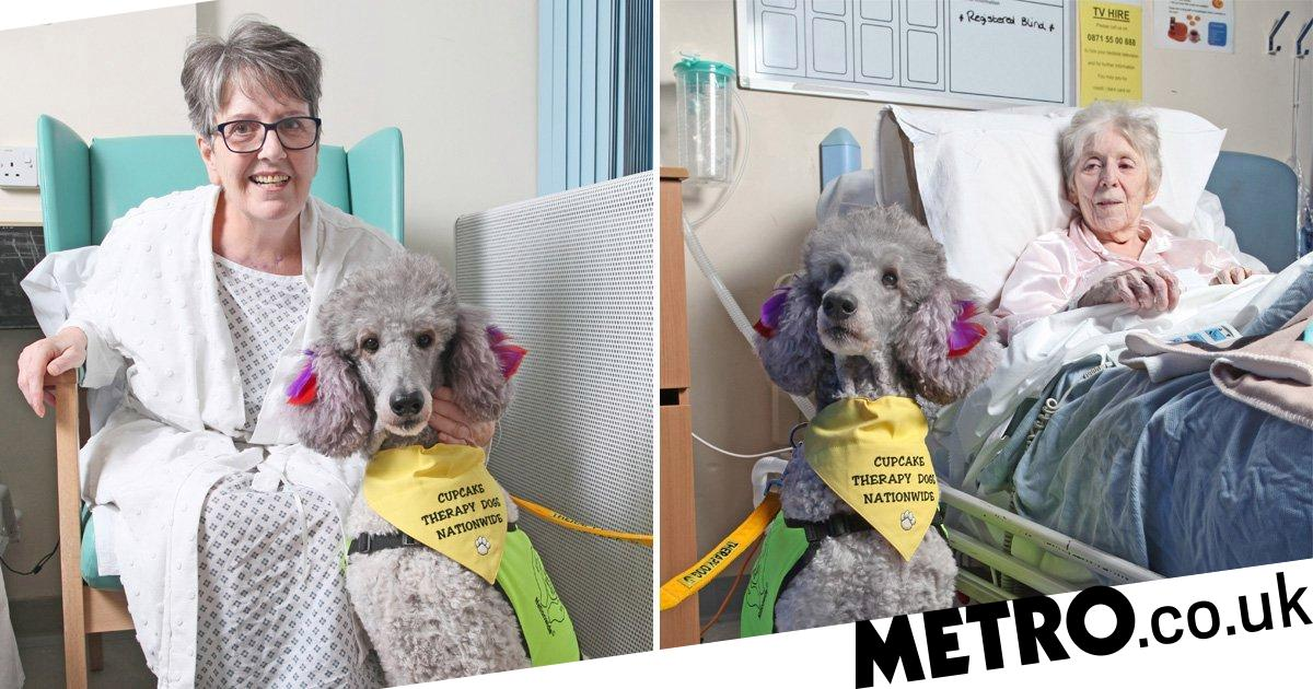 Cupcake the therapy poodle visits hospital to help patients feel better