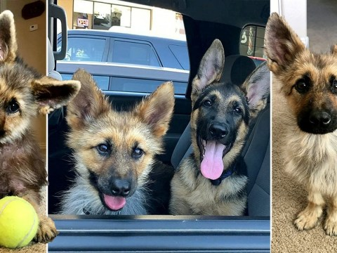 German shepherd with dwarfism still looks like a puppy at two years old