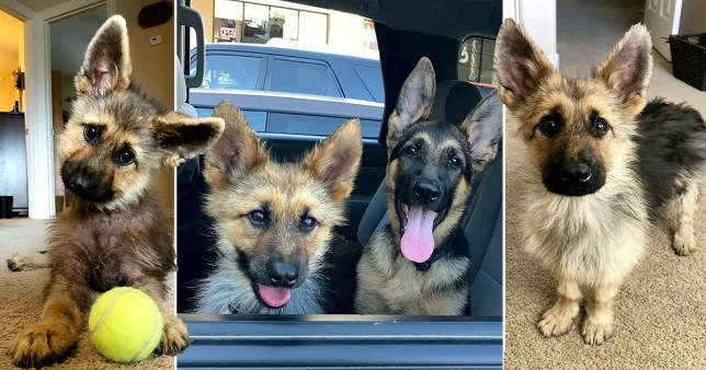 Ranger has pituitary dwarfism. With a tennis ball, German Shepherd Jesse and at home in Phoenix, Arizona.