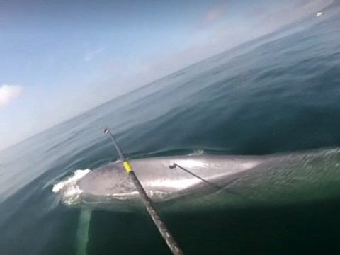 Scientists record a blue whale's heart rate for the first time