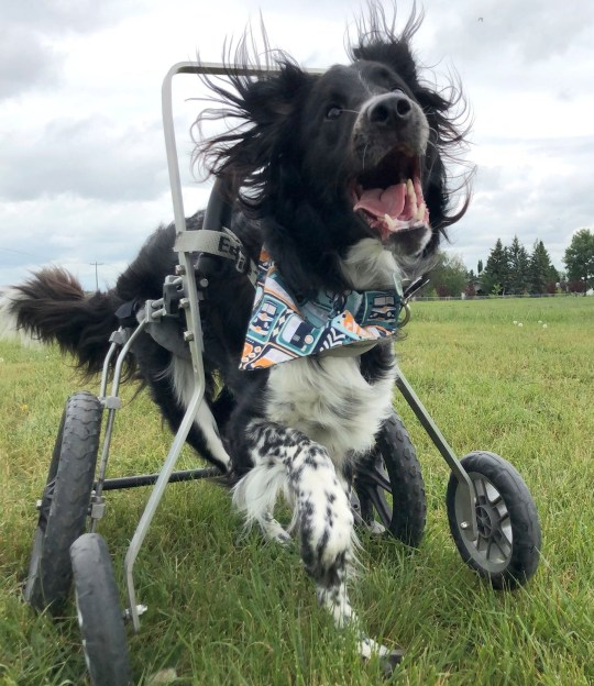 PIC BY MERCURY PRESS (PICTURED Moby goes for a run in his wheelchair ) A wheelchair-bound wobbly dog with a brain condition which makes him fall over is still enjoying life to the full and doesnt let his condition hold him back. Adorable black and white Border Collie and Great Pyrenees cross Moby, two, was returned three times to a rescue home in Alberta, Canada, because of the difficulties involving in handling his rare condition. But when dog lover Alex van Veldhuizen, 20, saw him on Facebook she couldnt resist - and went to pick him up the next day. Now, a year and a half later, the pooch, whose neurological condition means part of his brain is smaller than usual, is living his best life - and has been dubbed the happiest dog ever. SEE MERCURY COPY