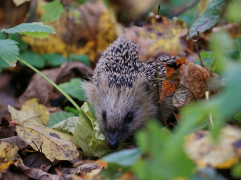 Bonfire Night may be killing hedgehogs – here's how to protect them