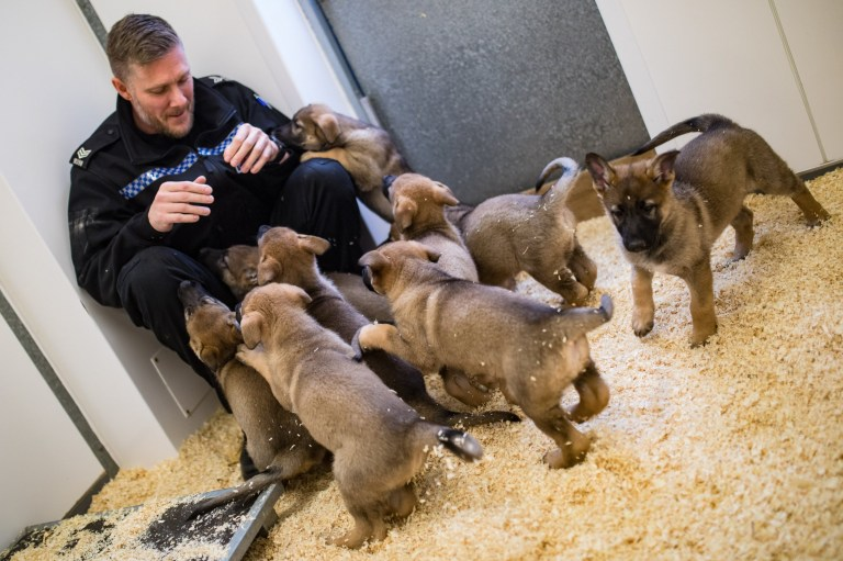 MERCURY PRESS. Manchester, UK. (Pictured: Greater Manchester Police Inspector Jason Knight with the new litter of nine German Shepherd puppies at the K9 training centre in Manchester.) A police dog unit has welcomed its nine newest and cutest members - a litter of paws-itively perfect German shepherd pups. Greater Manchester Police's Tactical Dog Unit saw the patter of puppy feet on Friday September 13, when a litter of four male and five females were born. Since parents Sally, the unit's brood bitch, and Mati, a working police dog, had the huge litter all but three of the pooches will train to become official police dogs. (SEE MERCURY COPY)