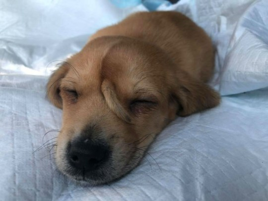 A golden retriever puppy with a tail on his face is doing well after being rescued from the cold by a group in Missouri. The cute pup has been appropriately named Narwhal by the rescuers at Mac's Mission after he was found wandering alone in the cold. The rescuers took the pup to a vet to see about the rare growth on his face, but x-rays showed it was not connected to anything or appear to bother him. Mac's Mission say the vets are not planning on removing the growth. Mac's Mission plans on hanging on to the young dog for now to make sure the tail does not impact his vision as he grows. 13 Nov 2019 Pictured: Narwhal. Photo credit: MEGA/macsmission.org / MEGA TheMegaAgency.com +1 888 505 6342
