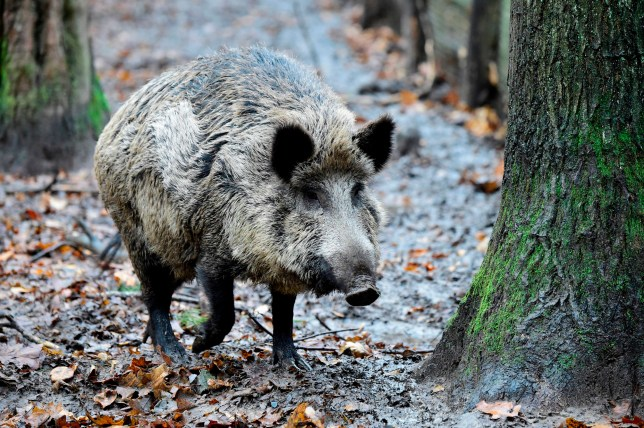 Wild boars snort ?17,000 of cocaine they found hidden in woodland