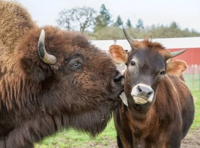 Helen, a blind bison making a new friend at Oregon's Lighthouse Farm Sanctuary
