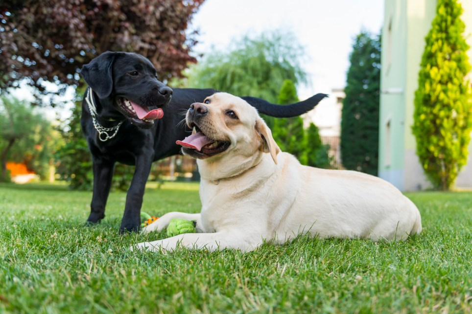 Image of a couple of black and white labradors playing in backyard