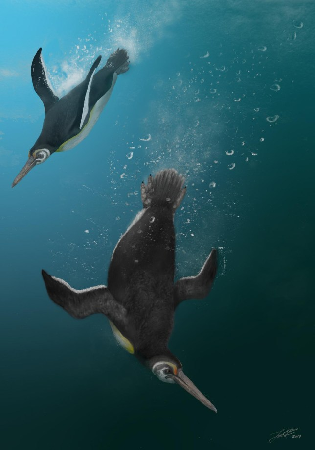Illustration of the newly discovered penguin species darting through their watery kingdom (Image: Jacob Blokland, Flinders University)
