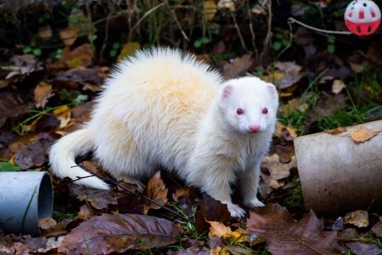 Basmati the ferret