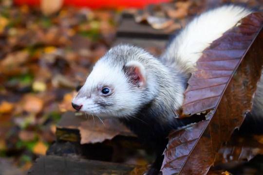 Belle the ferret