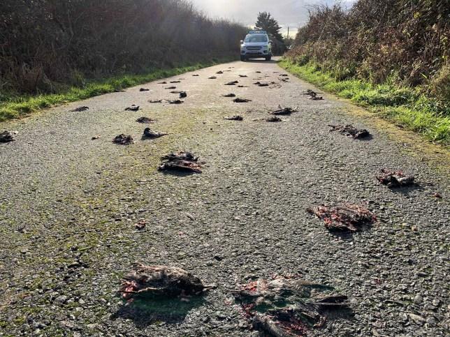 Bildergebnis für Mystery as 'hundreds' of birds found dead in road in Anglesey
