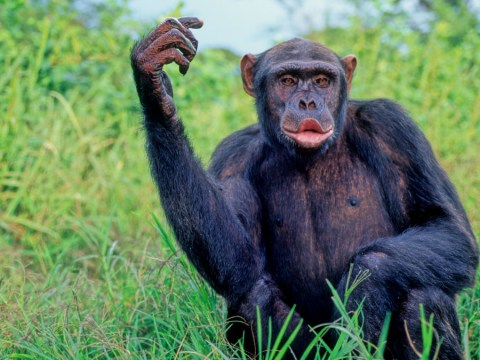 Chimps enjoy music and love to dance – now scientists are trying to understand why
