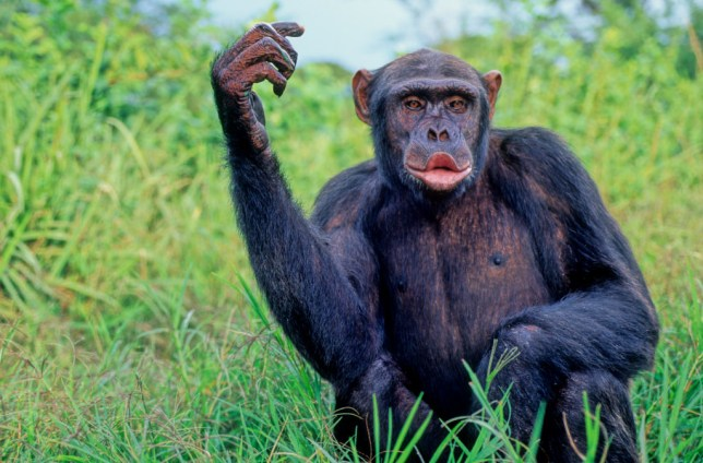 Research has shown that Chimpanzees can recognise music and dance to a rhythm (Avalon/Universal Images Group via Getty Images)