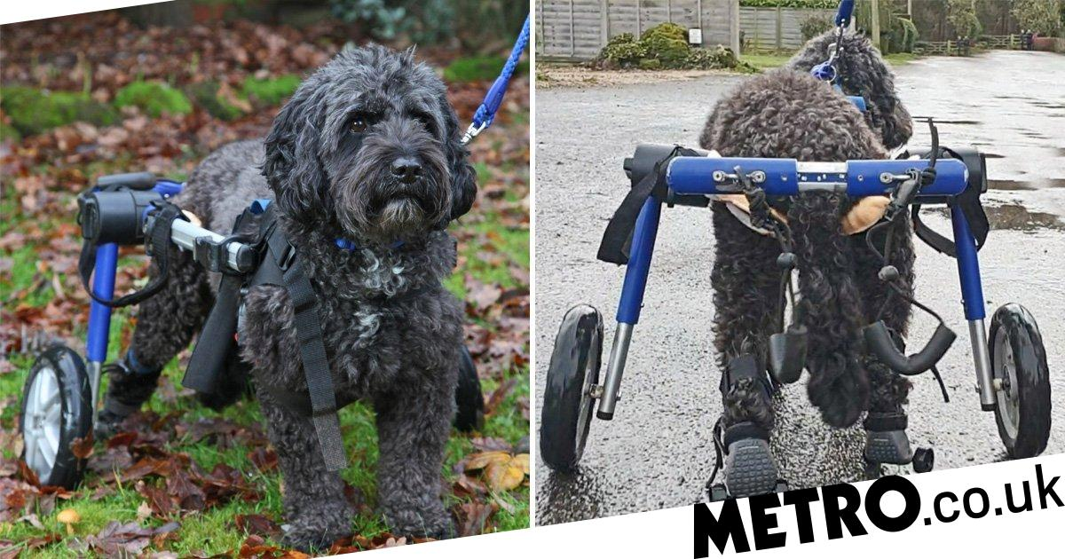 Paralysed dog Zippy can play again thanks to custom roller-skates