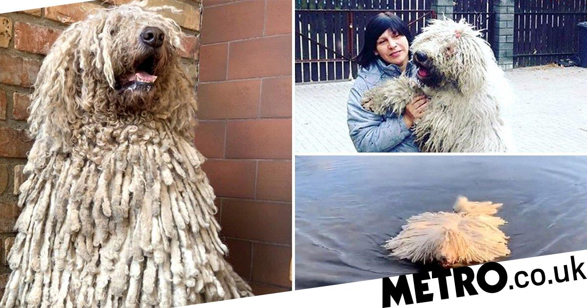 Hungarian sheepdog who looks like a mop is a social media star