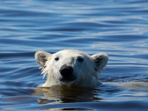 Seven Worlds, One Planet: How polar bears almost killed production team while filming